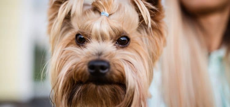 How Much Do Yorkies Shed?