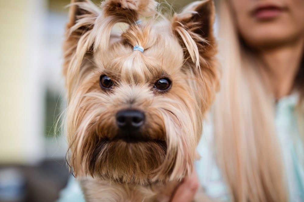 How Much Do Yorkies Shed