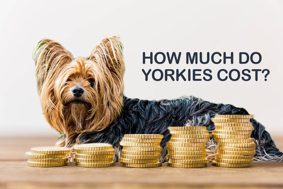 How Much Do Yorkies Cost?