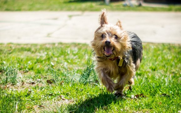 How Fast Can A Yorkie Run