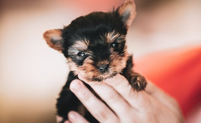 When Do Yorkie Puppies Start Walking