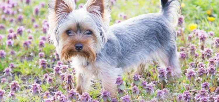 Why Does My Yorkie Eat Grass?
