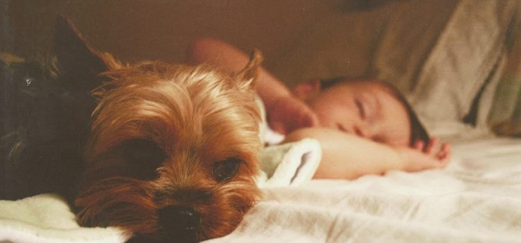 Do Yorkies Get Attached To One Person?