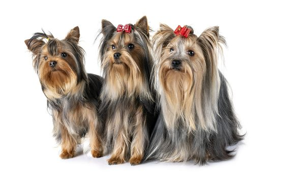 How Can I Make My Yorkies Hair Grow