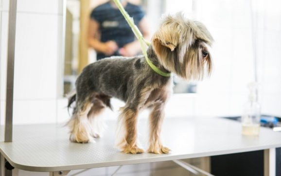 How Often Should A Yorkie Be Groomed