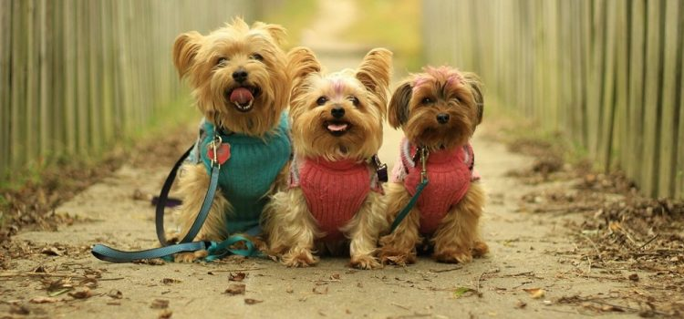 How To Leash Train A Yorkie Puppy