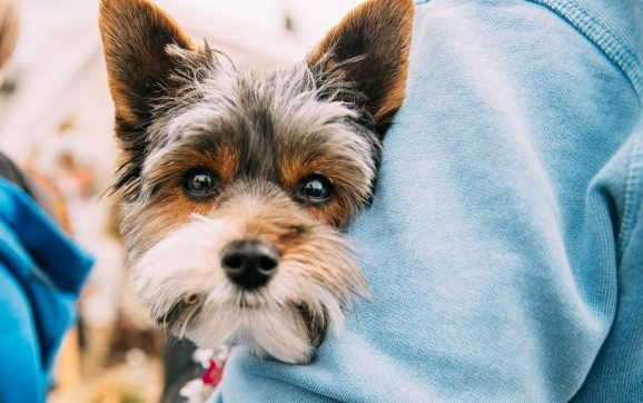 Why Do Yorkies Stare At You