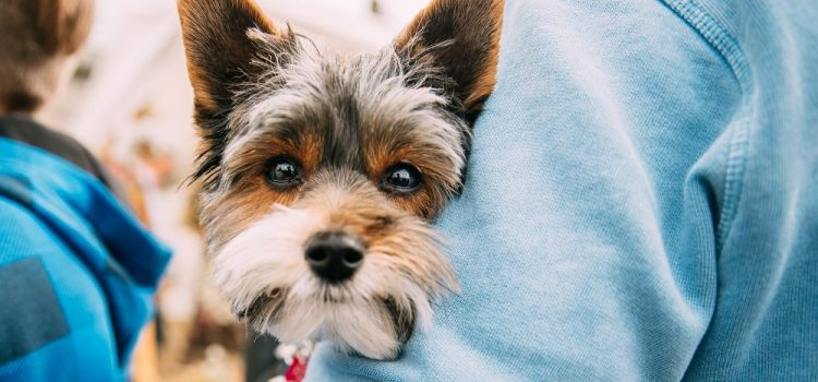 Why Do Yorkies Stare At You?