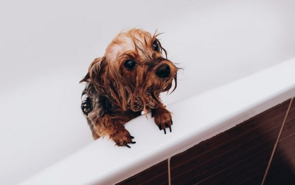 Can I Use Conditioner On My Yorkie?