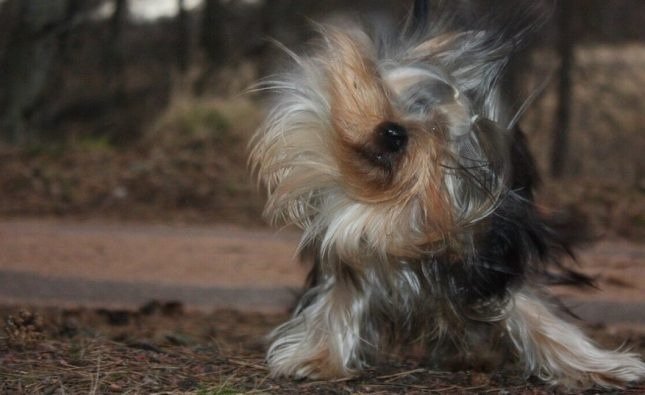 How Can I Keep Fleas Off My Yorkie