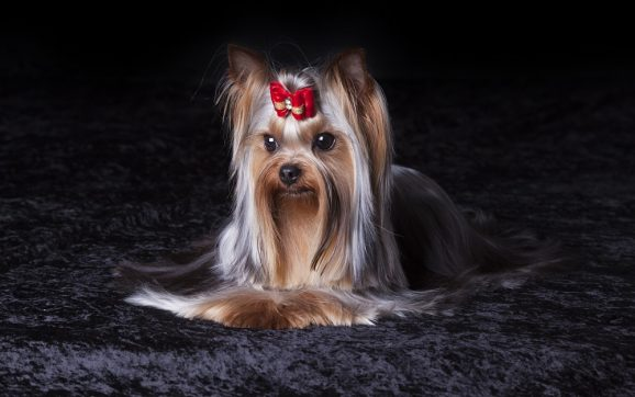How Can I Make My Yorkie Hair Silky?
