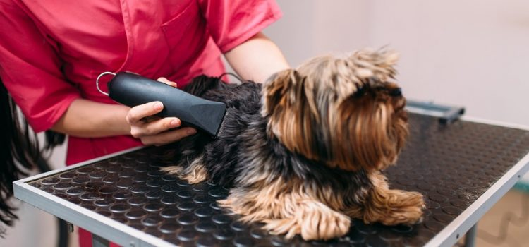 Should A Yorkie Be Shaved?