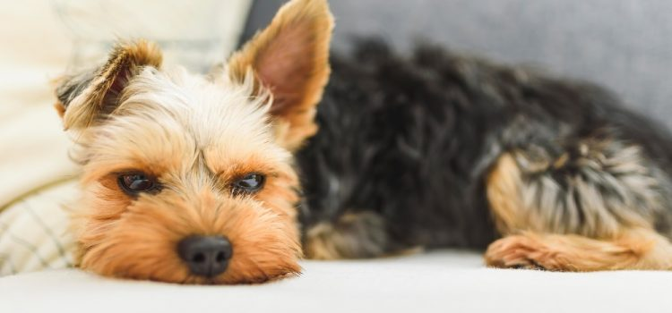 Are Yorkies Cold At Night?