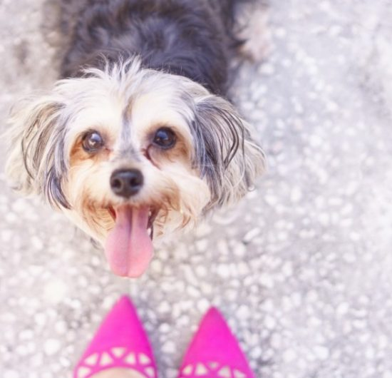Do Yorkies Love Their Owners?