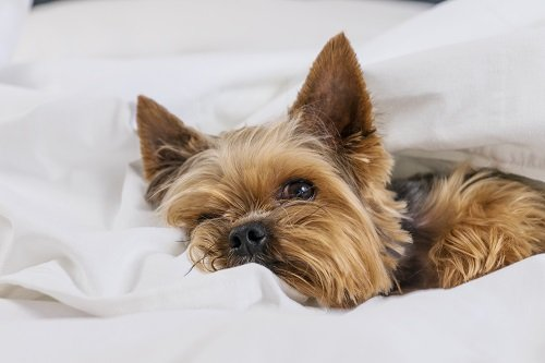 Yorkies Make Good Therapy Dogs: But Not Why You Think