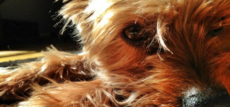 This Is Why Your Yorkies' Eyes Stink